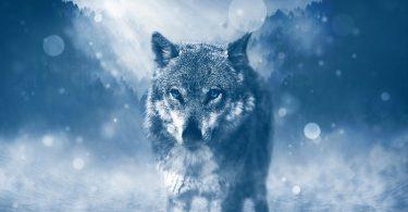 Animal totem loup